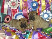 Продаем щенков шар-пея с хорошей родословной.