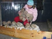 щенки среднеазиатской овчарки (алабам)